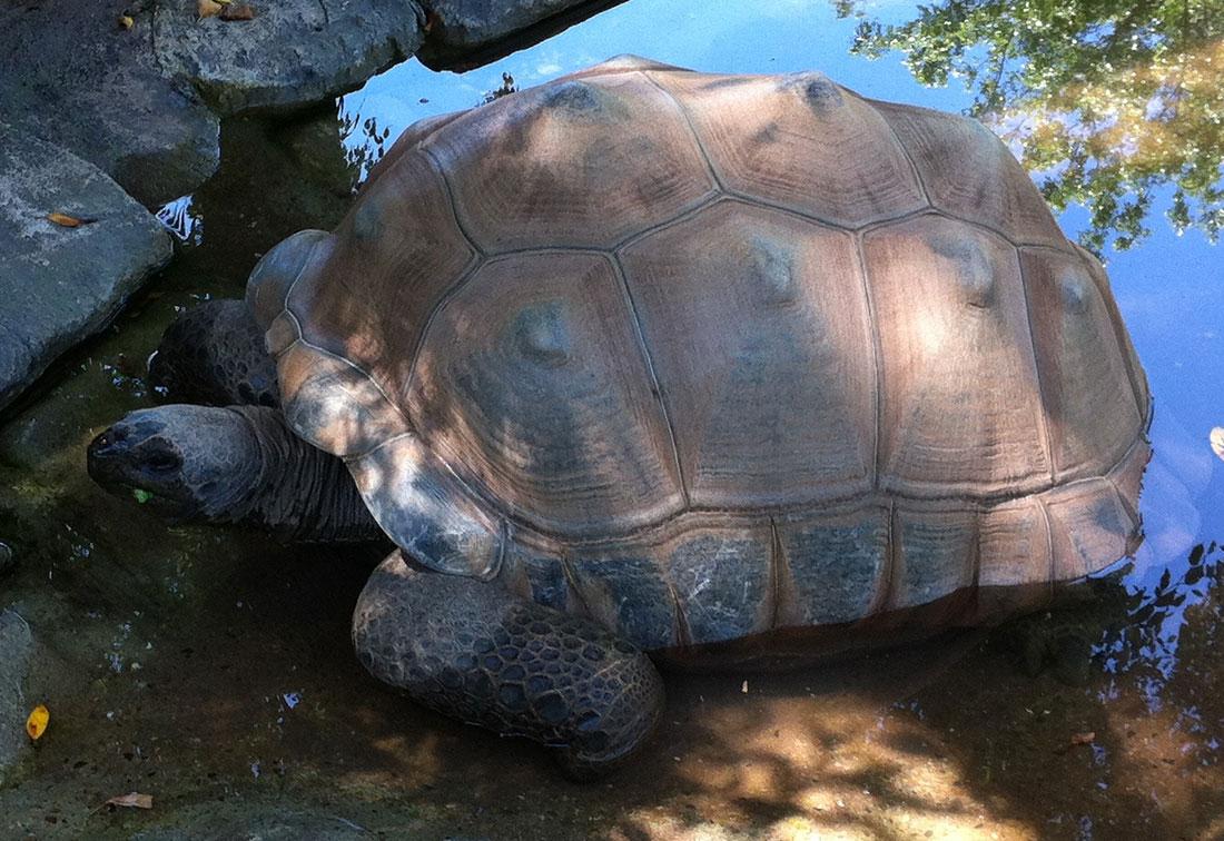 Bild einer Riesenschildkröte