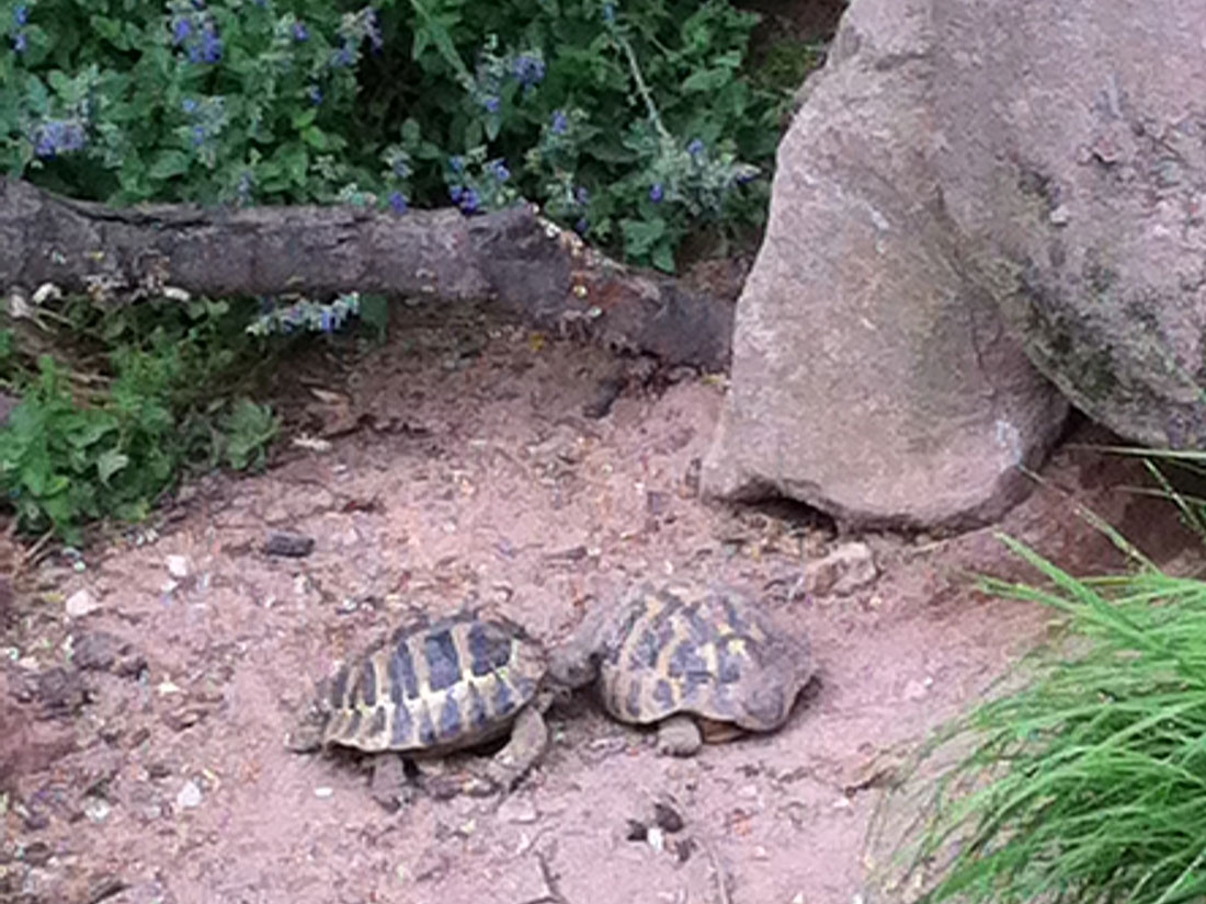 Landschildkröten im Freigehege