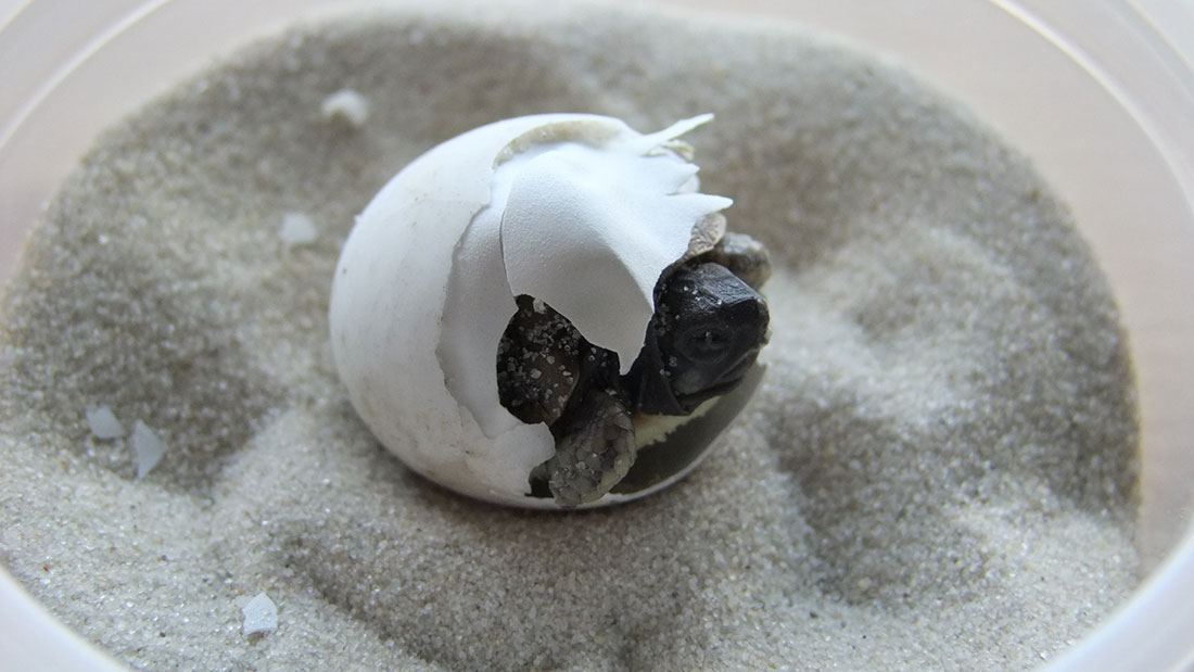 Schildkröte beim Schlupf