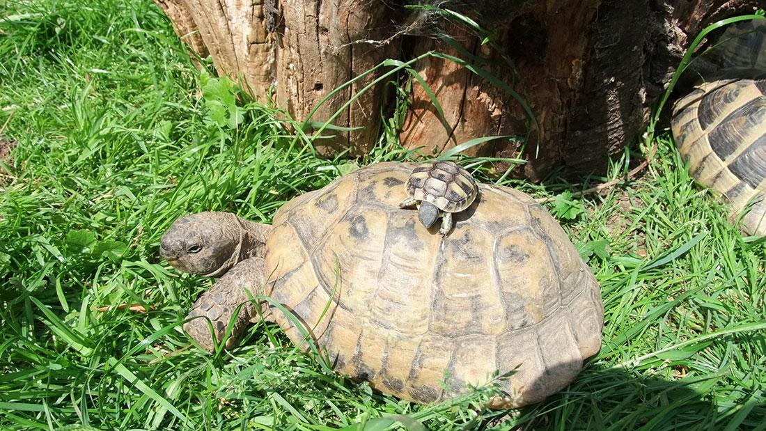 Schildkröten vom Züchter